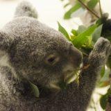 【動物占い】コアラの性格や恋愛を解説