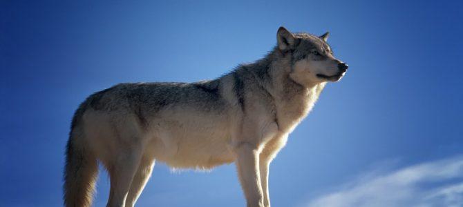 動物占いと狼