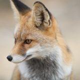 狐憑きの正体とは?あなたは知っていますか?