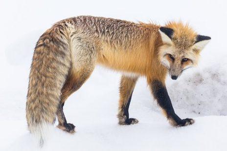 あなたは知っていますか?狐憑きの正体とは?