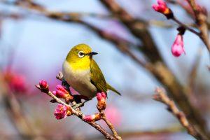 2月から3月は梅の見頃!梅の花言葉や風水的な意味を紹介