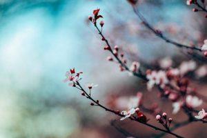 お花見の由来、桜の花言葉って?