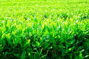 八十八夜は物事の種まきにぴったりな開運デー!新茶で殺菌作用も【2021年は5月1日】