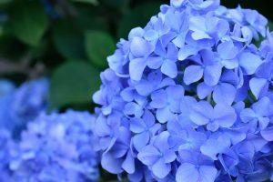 紫陽花の浄化パワーで憂鬱な梅雨を乗り切ろう!6月におすすめのおまじない